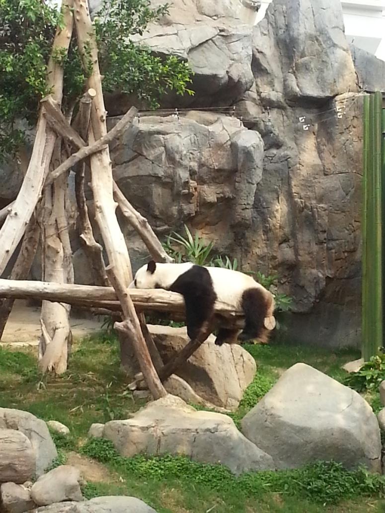 13ocean-park-hong-kong-real-panda