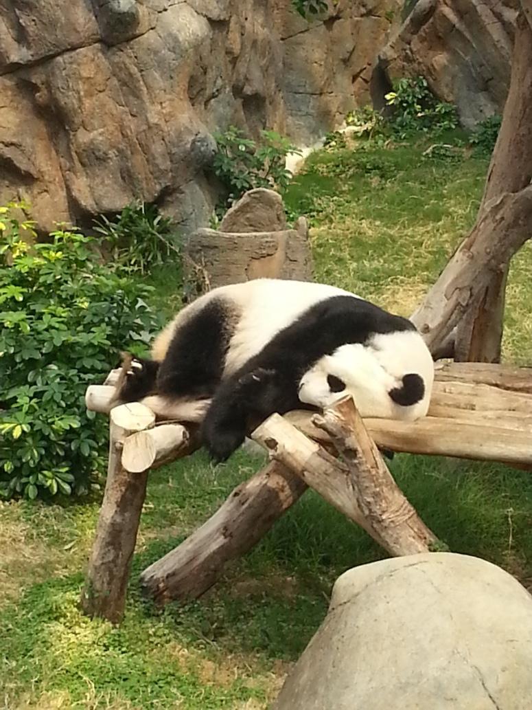 13ocean-park-hong-kong-real-panda2