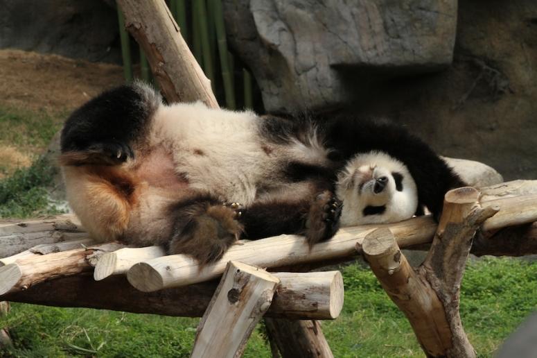 13ocean-park-hong-kong-real-panda3